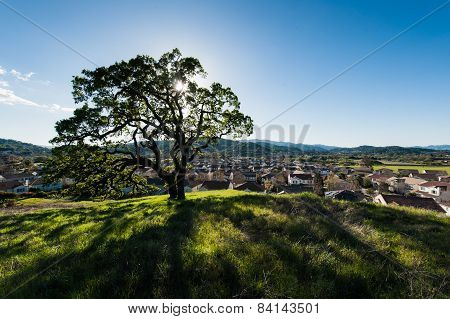 Oak Tree On A Grassy Hill In Field