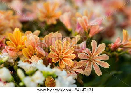 Lewisia Twedei Rosa  Flowers
