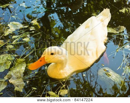 Duck on a small pond at sunset