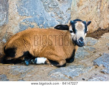 Baby goat taking a rest near sheepfold