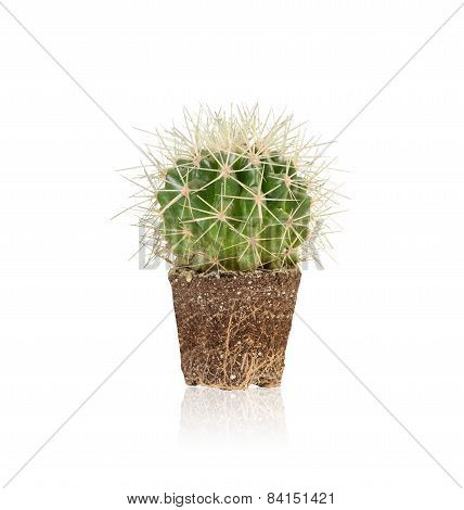Succulent,melocactus Is Unpotted And It Shows The Fibrous Root.isolated On White With Clipping Path