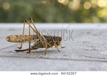 Grasshopper in close up