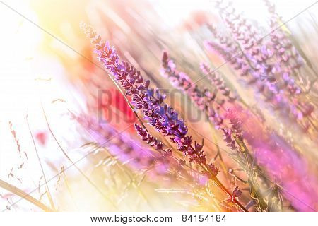 Purple meadow flowers