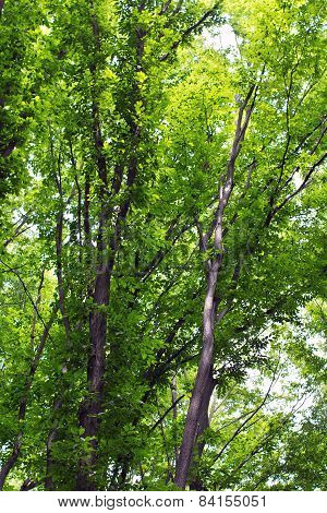 Beech Tall  Green Trees In Forest
