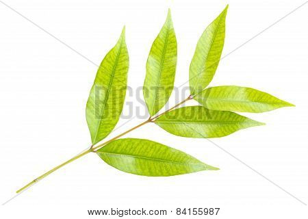 Limb Leaf Isolated On White Background