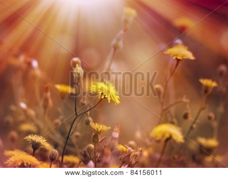 Dandelion is bathed in sunlight