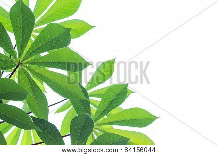 Limb Green Leaf Isolated On White Background