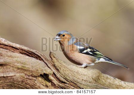 Chaffinch (fringilla Coeleb)