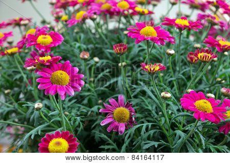 Red Marguerites