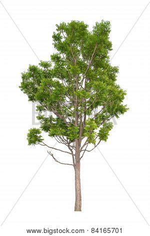 neem tree (Die cutting)