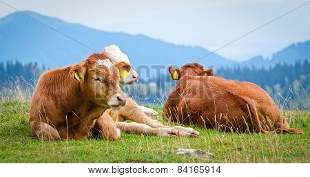 Cows In A Mountain Landscape