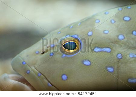 Focus On Head Of Grouper Fish.