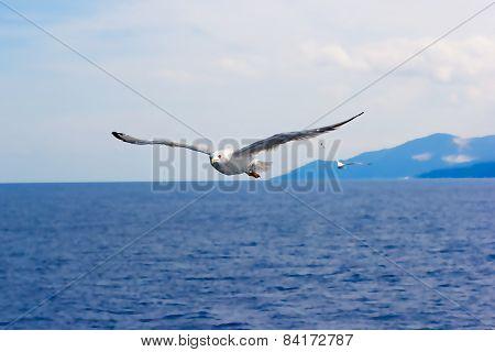 Majestic flight of seagull