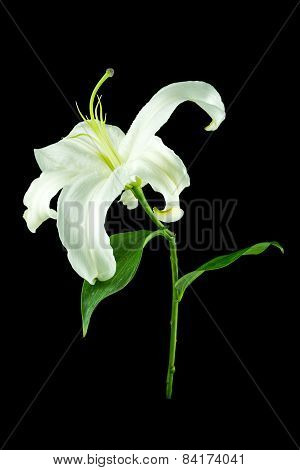 White Lily Flower On Black Background