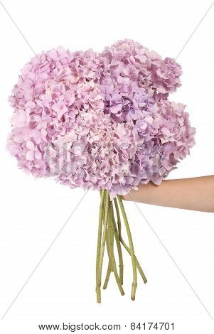 Pink Flower Hydrangea In Hand (clipping Path)