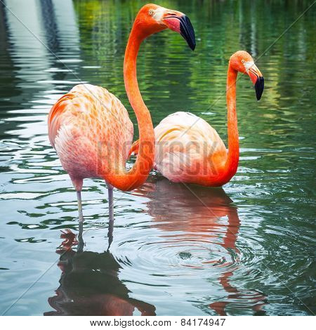 Pink Flamingos Walking In The Water With Reflections