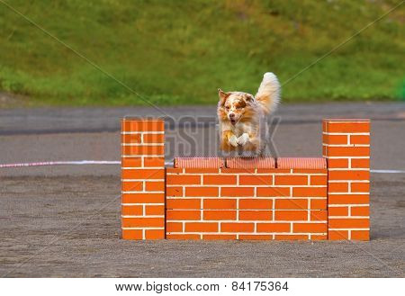 Australian Shepherd In Dog Agility Action