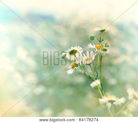 Daisy flowers  in meadow