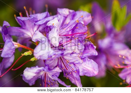 Blossom Rhododendron Tree