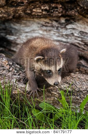 Baby Raccoon (procyon Lotor) Climbs Over Sibling
