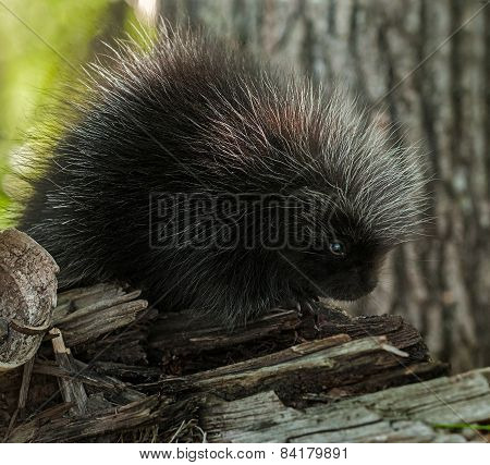Porcupette (erethizon Dorsatum) Sits On Branch