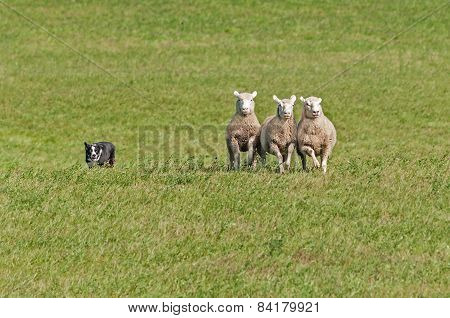 Stock Dog Herds In Sheep (ovis Aries)