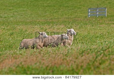 Three Sheep (ovis Aries) Run Right