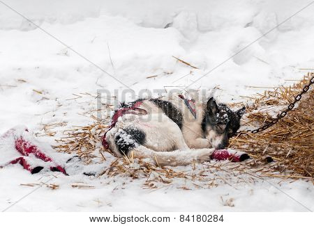 Sled Dog Sleeps In Snow And Hay