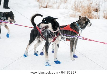 Sled Dogs Wait At Checkpoint