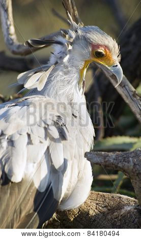 Secretary Bird Looks Back Feathered Animal Bird Wildlfie