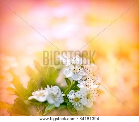 Flowering fruit tree - soft focus