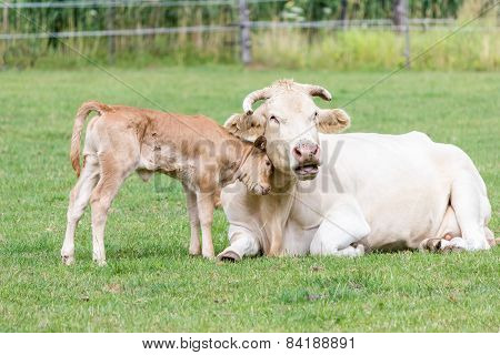 Bull calf hugging mother cow in green meadow