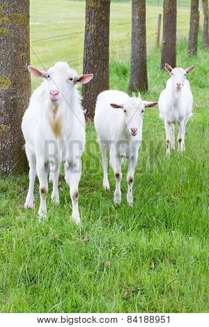 Three white goats standing on grass with tree trunks