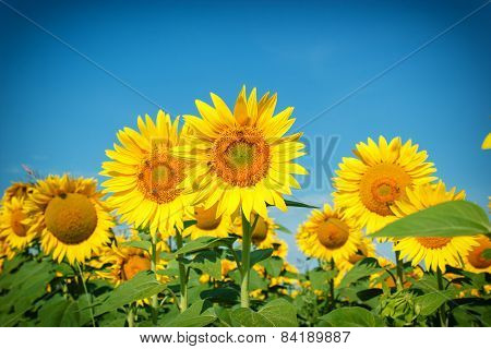 Field of sunflowers - bees collect nectar