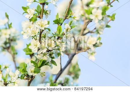 Flowering Branch Of  Cherry-tree In The Spring