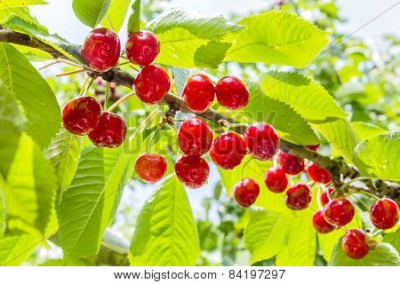 Ripe Berries Of A Sweet Cherry On A Branch