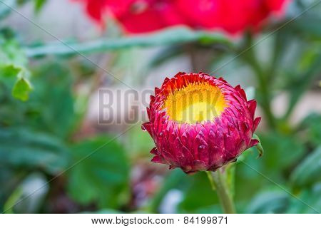 Red Strawflower
