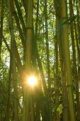 foto of bamboo forest  - bamboo cane forest with bright evening sunshine - JPG