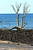 stock photo of dead-line  - dead tree andilana beach seaweed in indian ocean madagascar sand isle sky and rock - JPG