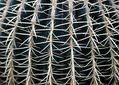 picture of cactus  - huge cactus called Golden Barrel Cactus for sale from florist - JPG