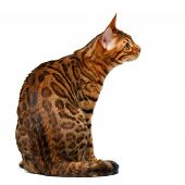 stock photo of bengal cat  - bengal cat sitting and looking at right on white background - JPG