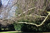 picture of weeping willow tree  - Horizontal branches on a willow tree in the park - JPG