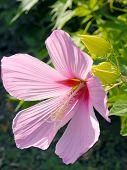 picture of hibiscus flower  - Sunlit pink hibiscus flower - JPG