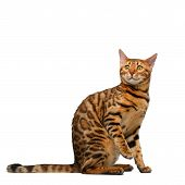 picture of bengal cat  - bengal cat sitting and looking up on white background - JPG