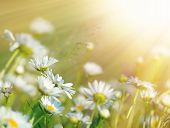 picture of daisy flower  - Beautiful daisy flowers bathed in sunlight - JPG