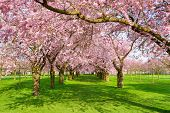 stock photo of row trees  - Scenic park with rows of blossoming cherry trees in spring on a fresh green lawn shot on a nice sunny day - JPG
