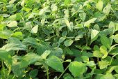 foto of soybeans  - green soybean plants in growth at field - JPG