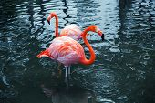 image of pink flamingos  - Two pink flamingos standing in the water with reflections - JPG