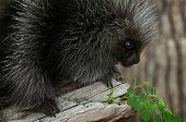 pic of nocturnal animal  - Porcupette  - JPG