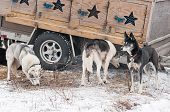 picture of sled-dog  - Sled Dogs Stand Near Dog Truck  - JPG